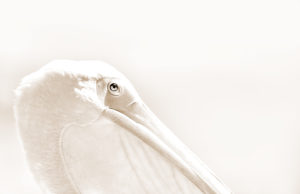 Photo of a pelican in profile, San Diego