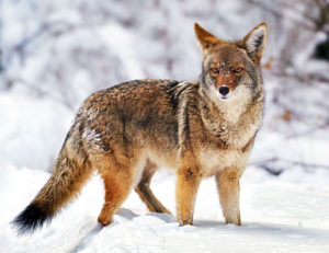 Photo of a coyote at Yosemite National Park, California by visionbypixels.com