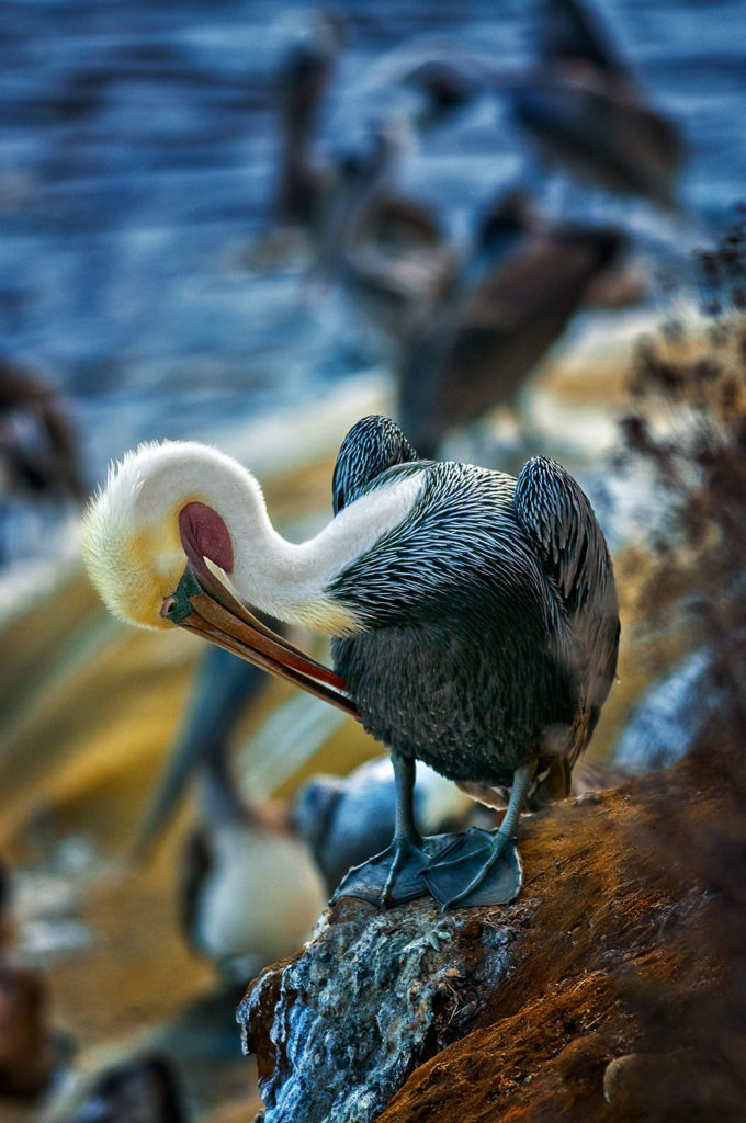 Photo of a pelican grooming itself at dusk in La Jolla, California by visionbypixels.com