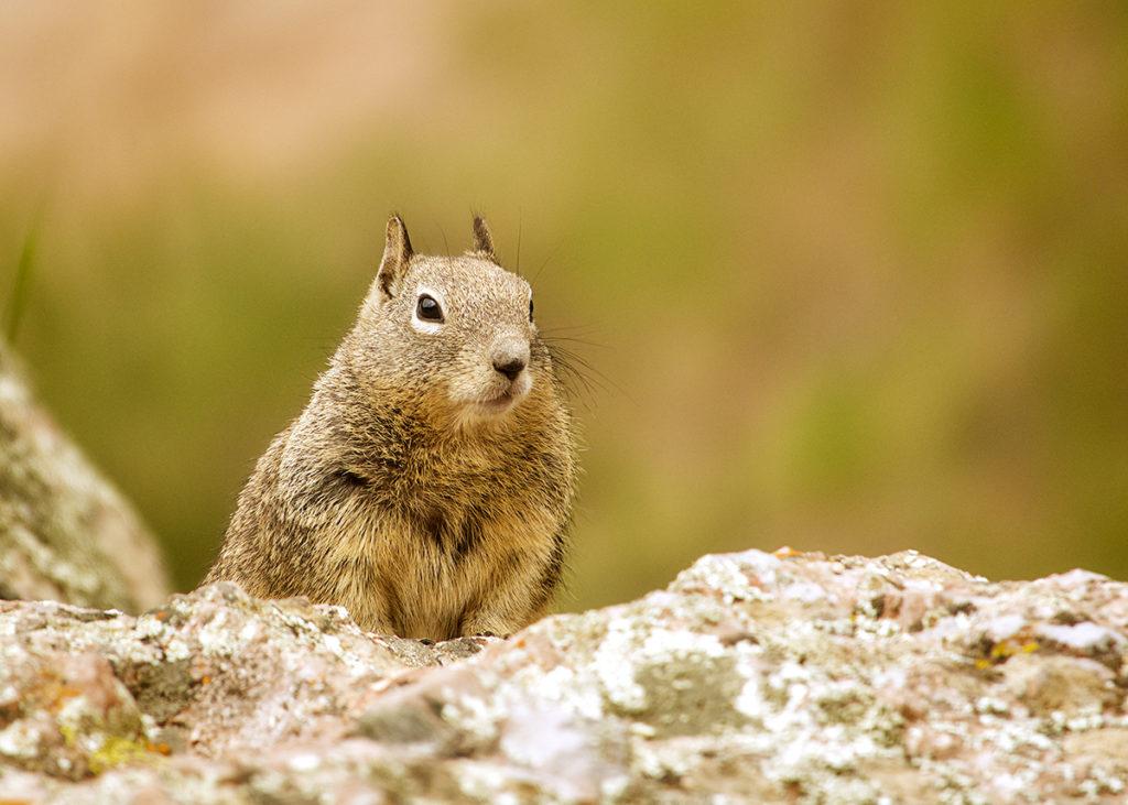 Photo of a squirrel at Pinnacles National Park, California by visionbypixels.com