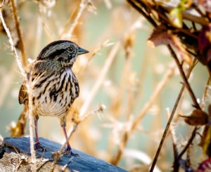 Photo of a sparrow at Point Reyes National Seashore, California, by visionbypixels.com