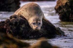 Bean Hollow Seal